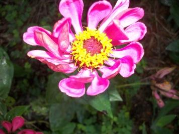 My Zinnies, my favorite flower.