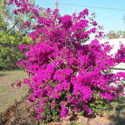 Pop goes the Color! My Bouganvilla in full bloom(it is over 10 feet tall and 20 feet around !